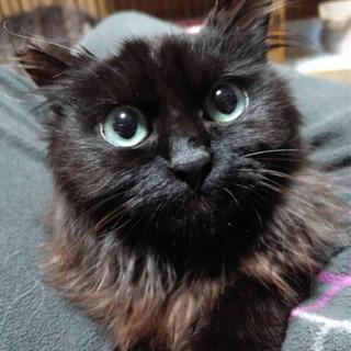 ゴージャス❣️ペルシャMIX長毛種❣️黒猫エメラルドグリーンの瞳...