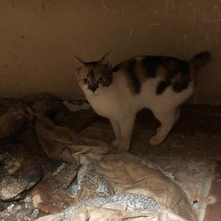 至急です!ミケの子猫2匹の里親を探しています!