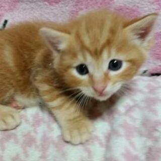New✩5/27かわいい子猫ちゃん1ヶ月半