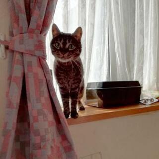 ★里親様✨募集致します★キジトラ③ - 猫