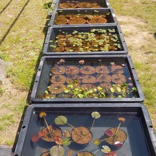 各種水生植物店頭販売致します‼️☆NAGOYA MEDAKA B...