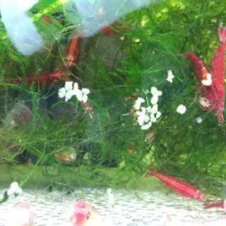 🦐極火蝦(スーパーレッド・チェリー・シェリンプ)8尾