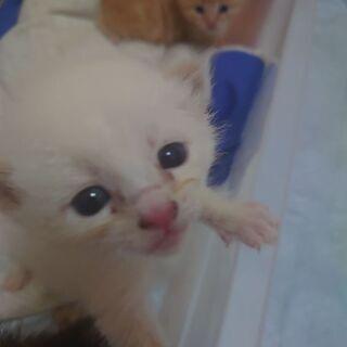 シャム猫のような毛並みの子猫です。保健所届け済み。の画像