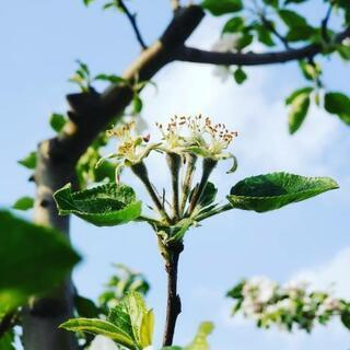 5月~7月、 9月~12月  りんごの作業アルバイト募集☆