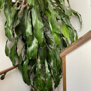 幸福の木(値下げしました❗️)の画像