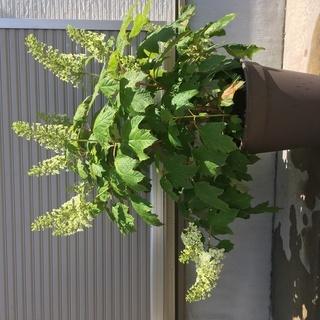 カシワバアジサイ 大株 鉢植え 紫陽花 あじさい