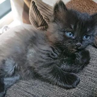 【里親様見つかりました!】1ヶ月半の子猫ちゃん