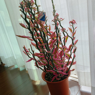ペディランサス(大銀竜) 5号鉢 観葉植物