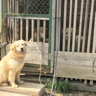 一旦休止 ゴールデンMIX犬 三兄弟の里親様を募集致します。