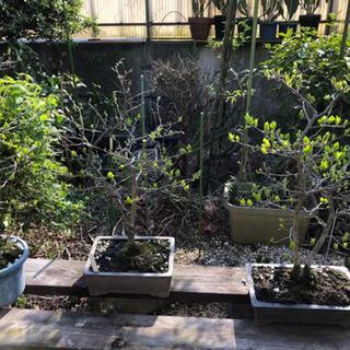 《取引中》盆栽 花 鉢植え 等