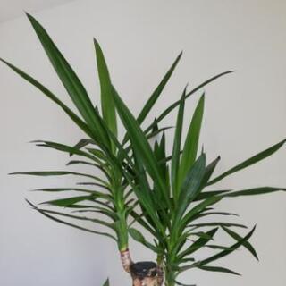珍しいユッカ 観葉植物 ※本文要確認