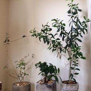 観葉植物(オリーブ、ガジュマル、ソフォラ)