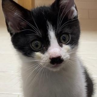 生後2ヶ月の男の子 - 猫