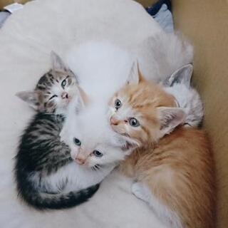 子猫 1ヶ月 四兄弟