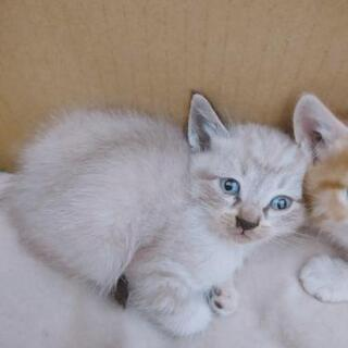 子猫 1ヶ月 四兄弟 − 埼玉県