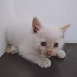 子猫 1ヶ月 四兄弟 - 里親募集
