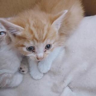 子猫 1ヶ月 四兄弟 - 猫