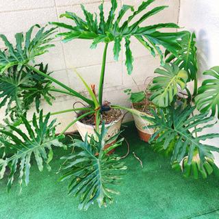 終了しました!セローム モンステラ 観葉植物 2つセット