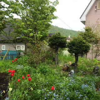 庭解体中 ツツジ、チューリップ、スイセン、すずらんなど 伐採木、...