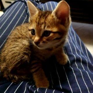 【取引中です】とても可愛いキジ雄猫2~3か月