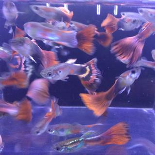 熱帯魚 グッピー 赤系のミックスグッピー 06