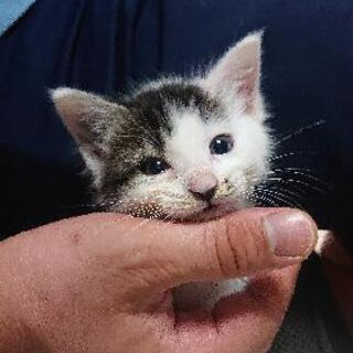 生後1ヶ月半❣幸せを掴む鍵しっぽの仔猫ちゃん❣