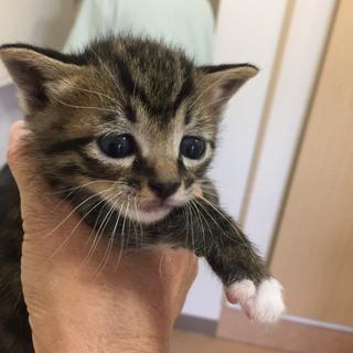 生後1ヶ月の子猫もらってください