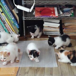 4月24日生まれの仔猫6匹の里親さんになってくださる方をさがしています