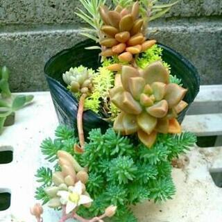 他肉植物、3鉢 ブロンズ姫の画像