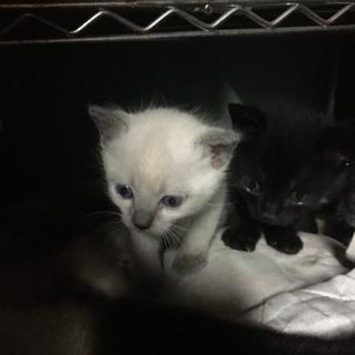 青い目の子猫ちゃんと黒猫、トラ猫さん。かわいいです。お願いします
