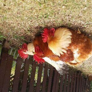 鶏(♂)三羽の里親を探してます。