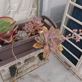 【保留】多肉植物+植え鉢+肥料