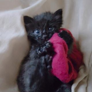 黒♀長毛1か月
