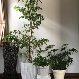 観葉植物🌿3個で1000円!
