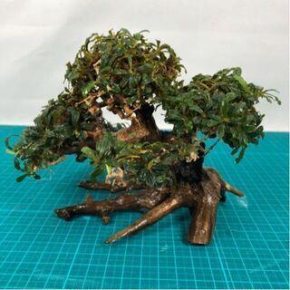 盆栽流木ブセファランドラ