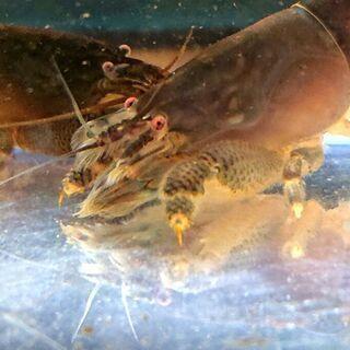 アフリカンロックシュリンプ 💪🦐(ジャイアント淡水、熱帯魚、アク...