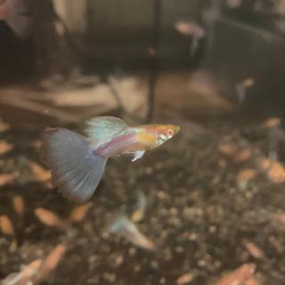 上物❗️ 国産RREAトパーズ 1ペア (熱帯魚)