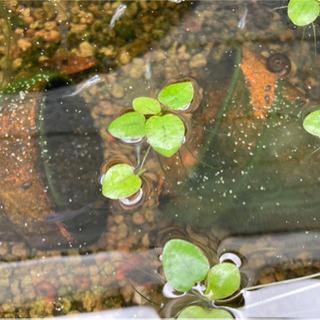 アマゾンフロッグピット 水辺植物 小
