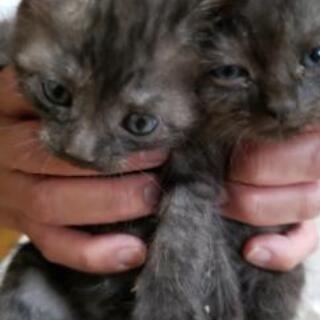 4月16日生まれの仔猫 - 猫