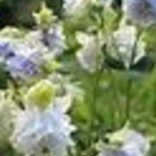 オダマキ タワー品種(八重咲) 空色系統の種 10粒