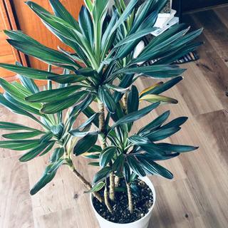 コルジリネサンゴ 観葉植物 100センチ