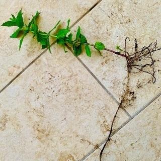 庭造りから、土から拘って作ったハーブ①大苗ミント