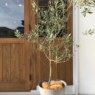 オリーブの木(鉢カバーつき)