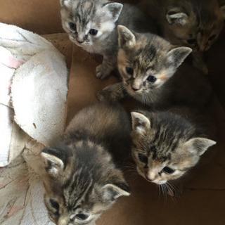 キジトラ柄の子猫達の里親募集