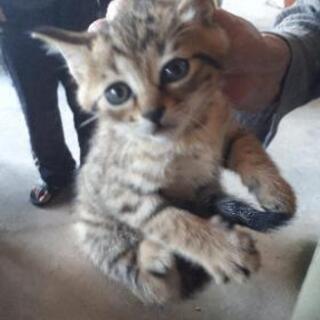 津山市 仔猫の里親募集 - 猫