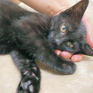 『里親募集』生後2ヶ月の元気いっぱいの黒猫