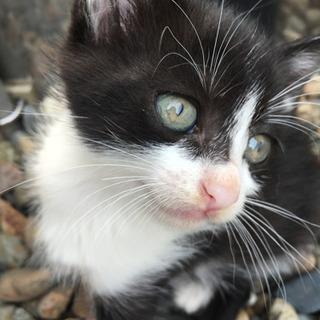 人馴れしたハチワレの生後4週間の子猫1匹!