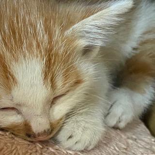 茶白の仔猫 2ヶ月
