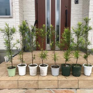 植木🌟90センチ🌟ラカンマキ🌟8本