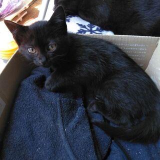 生後2ヶ月 黒猫の子猫